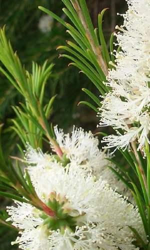 Teafa virág